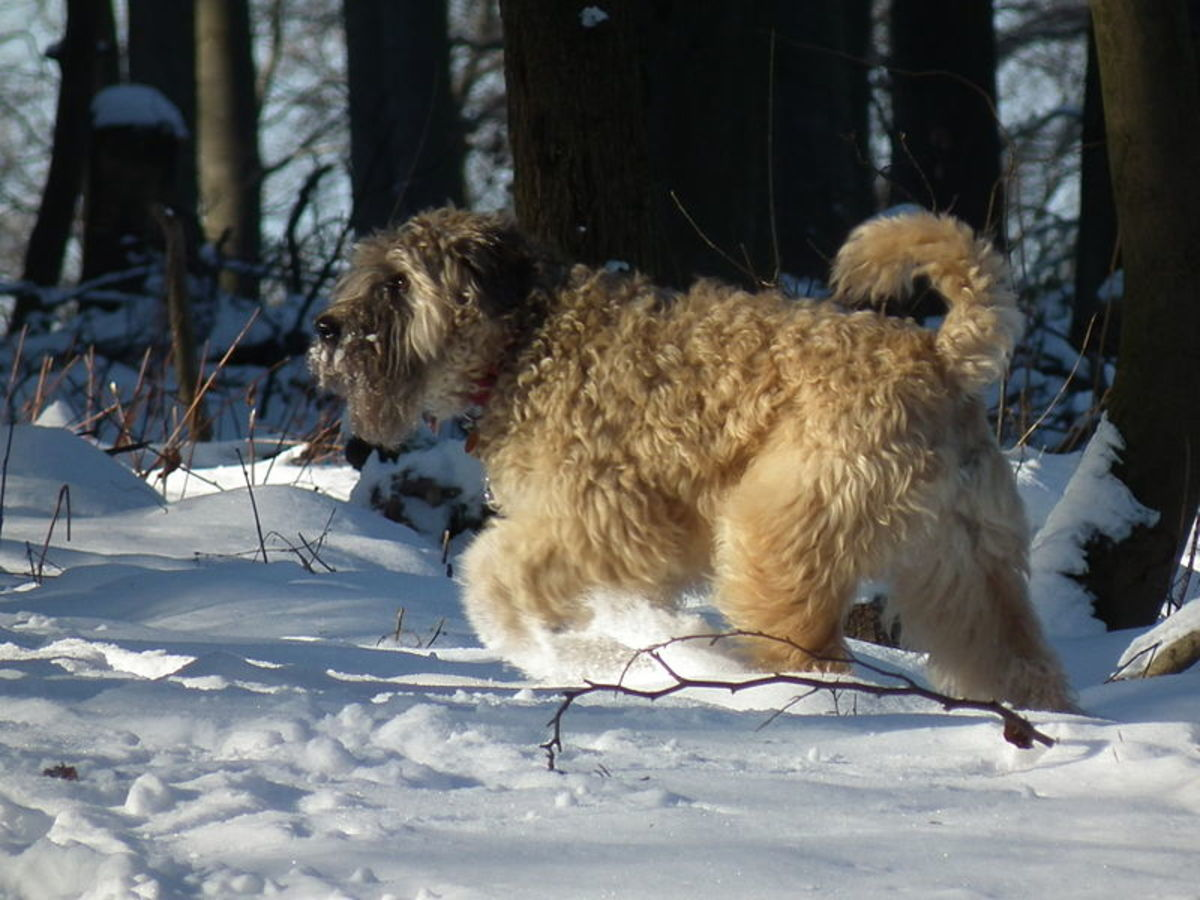 Dogs and Cold Weather - How Dogs Stay Warm - It is More Than their Fur