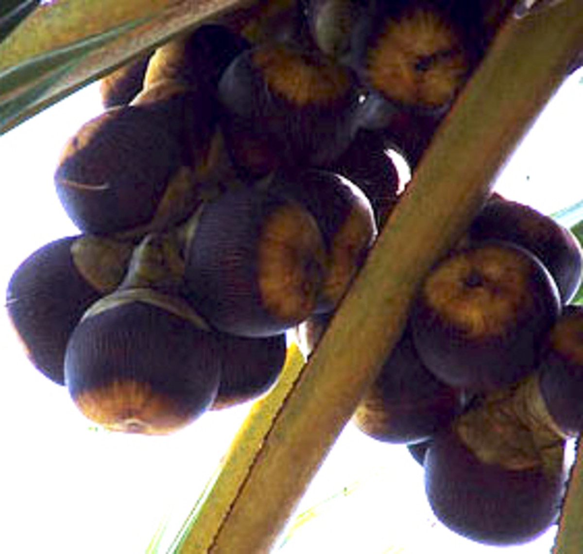 Palmyra or Sugar Palm fruits growing on a tree