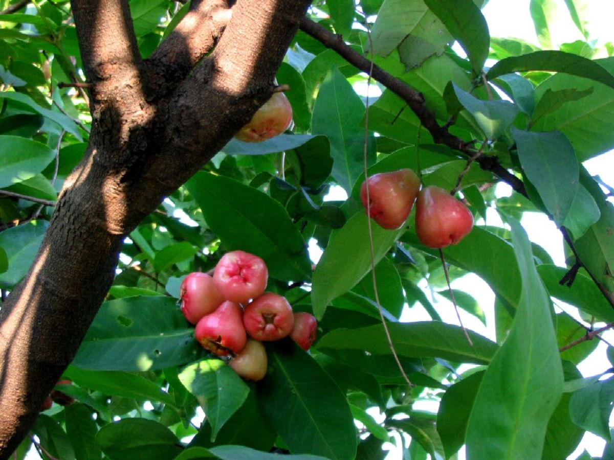 A Philippine legend of macopa - a bell shaped, red fruit