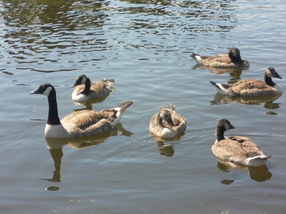 A Canada Goose Family