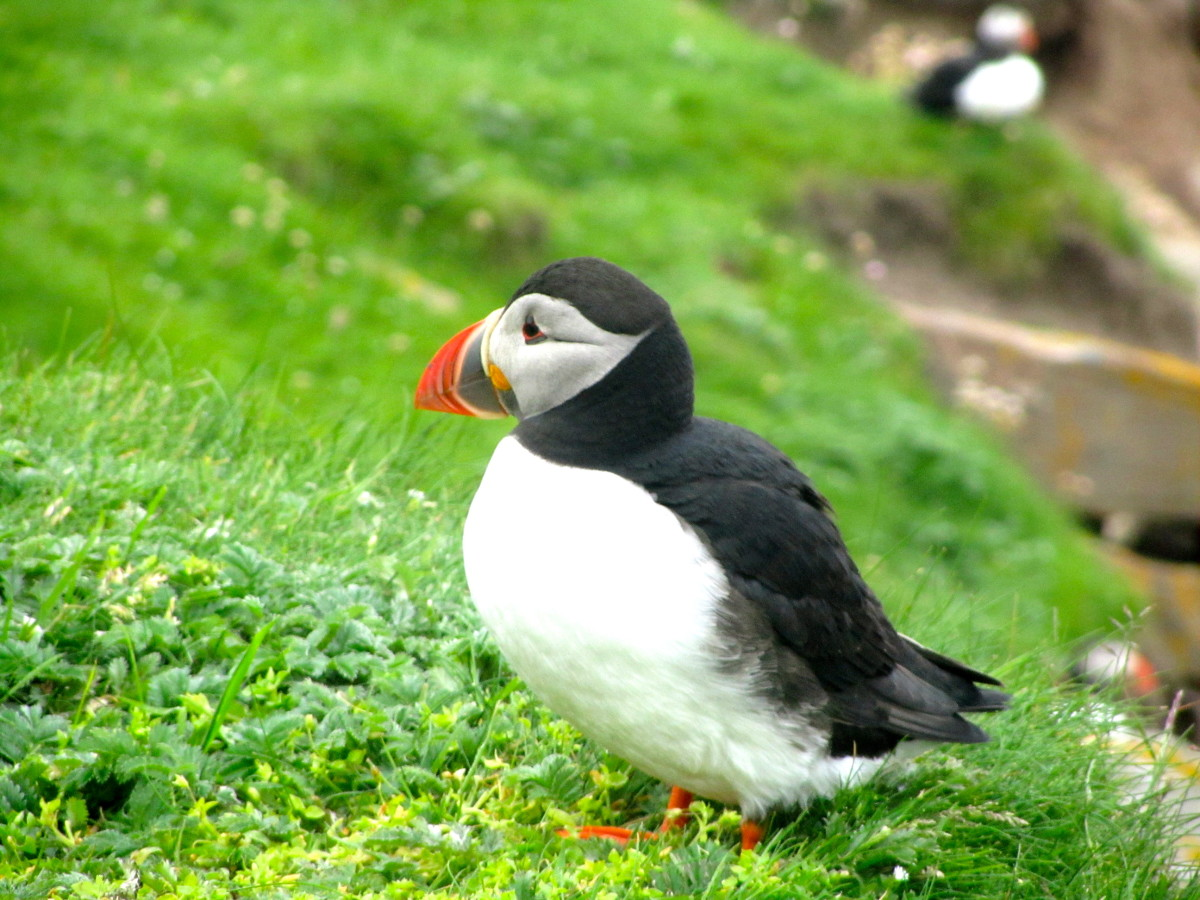 where-to-find-puffins-around-the-world