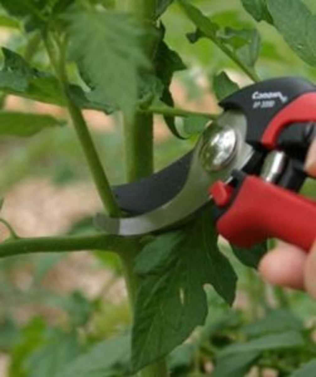 how to cut back tomato plants