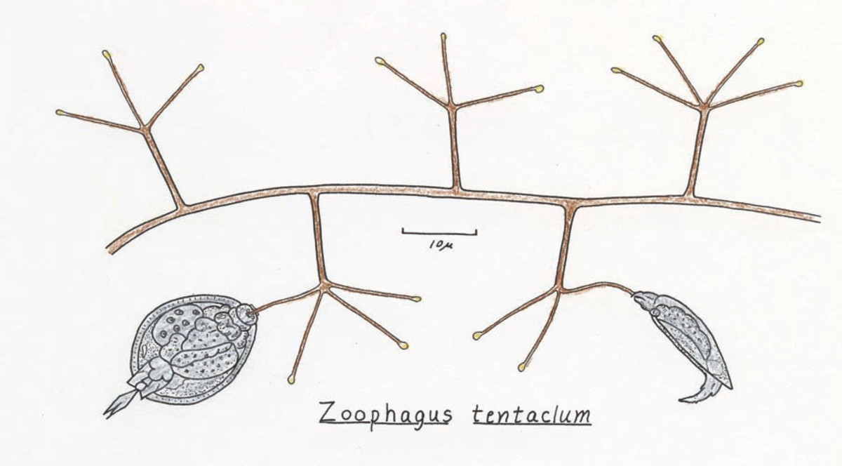 Rotifers caught by the fungus Zoophagus tenticulum.