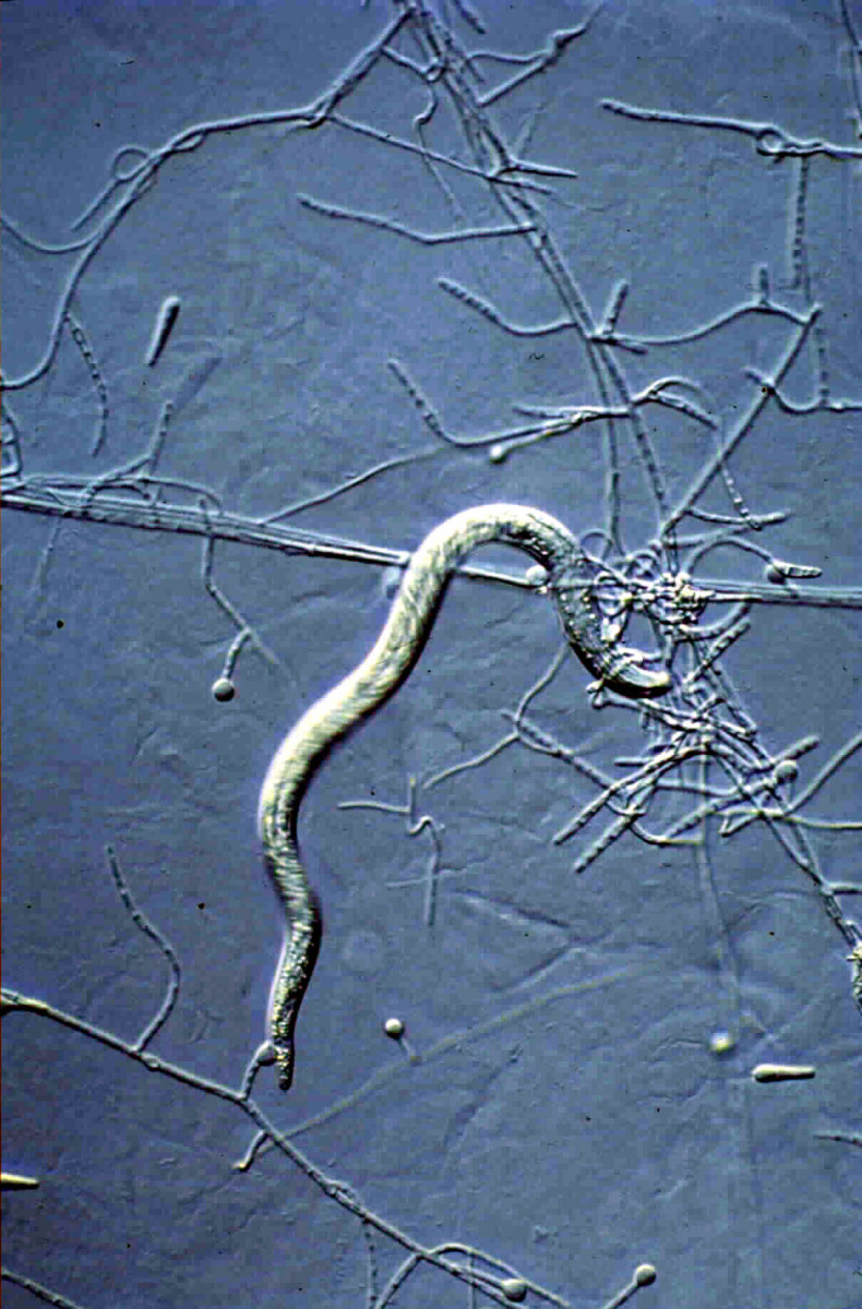 Nematode trapped by adhesive hyphal knobs.