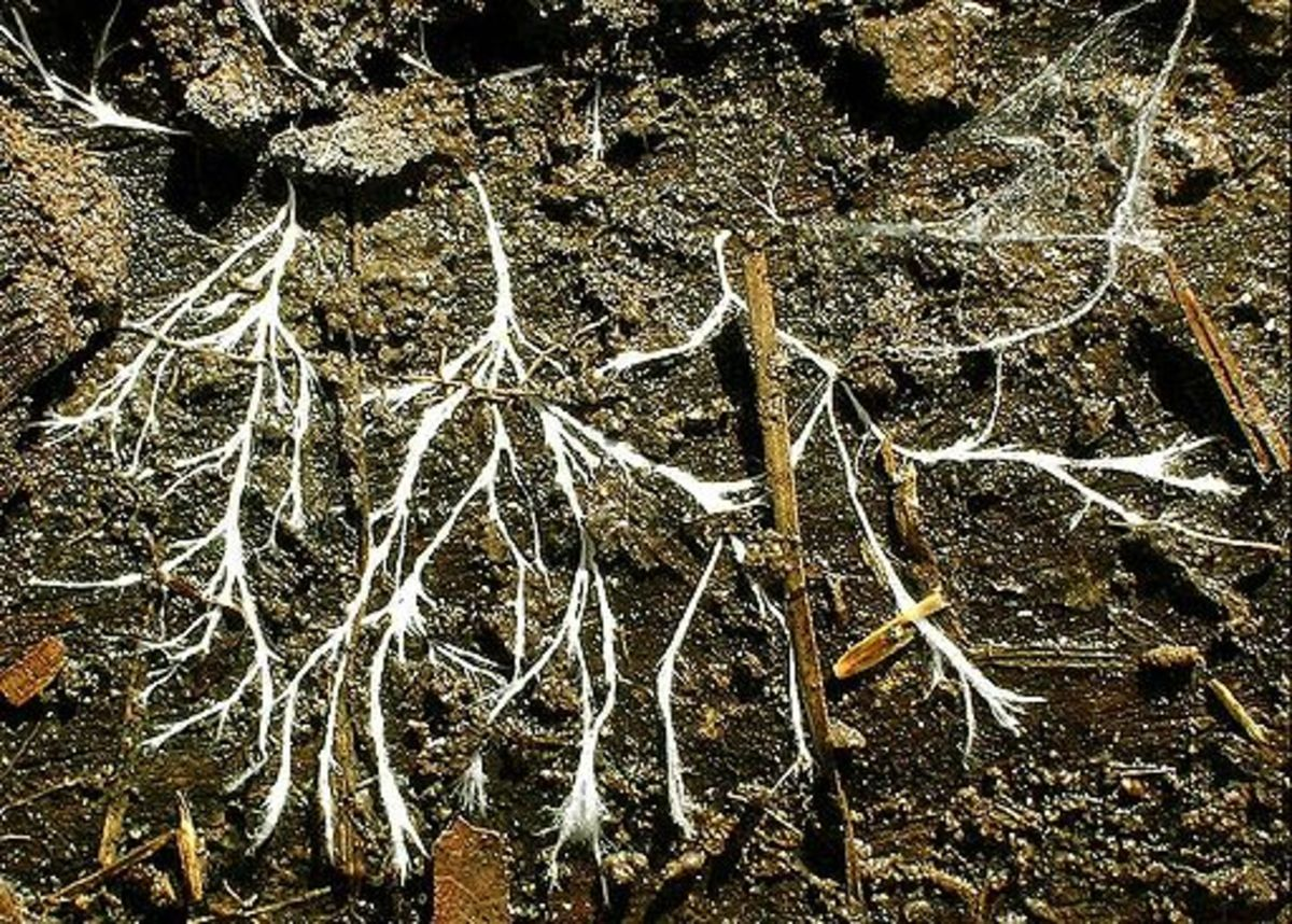Fungi Hyphae