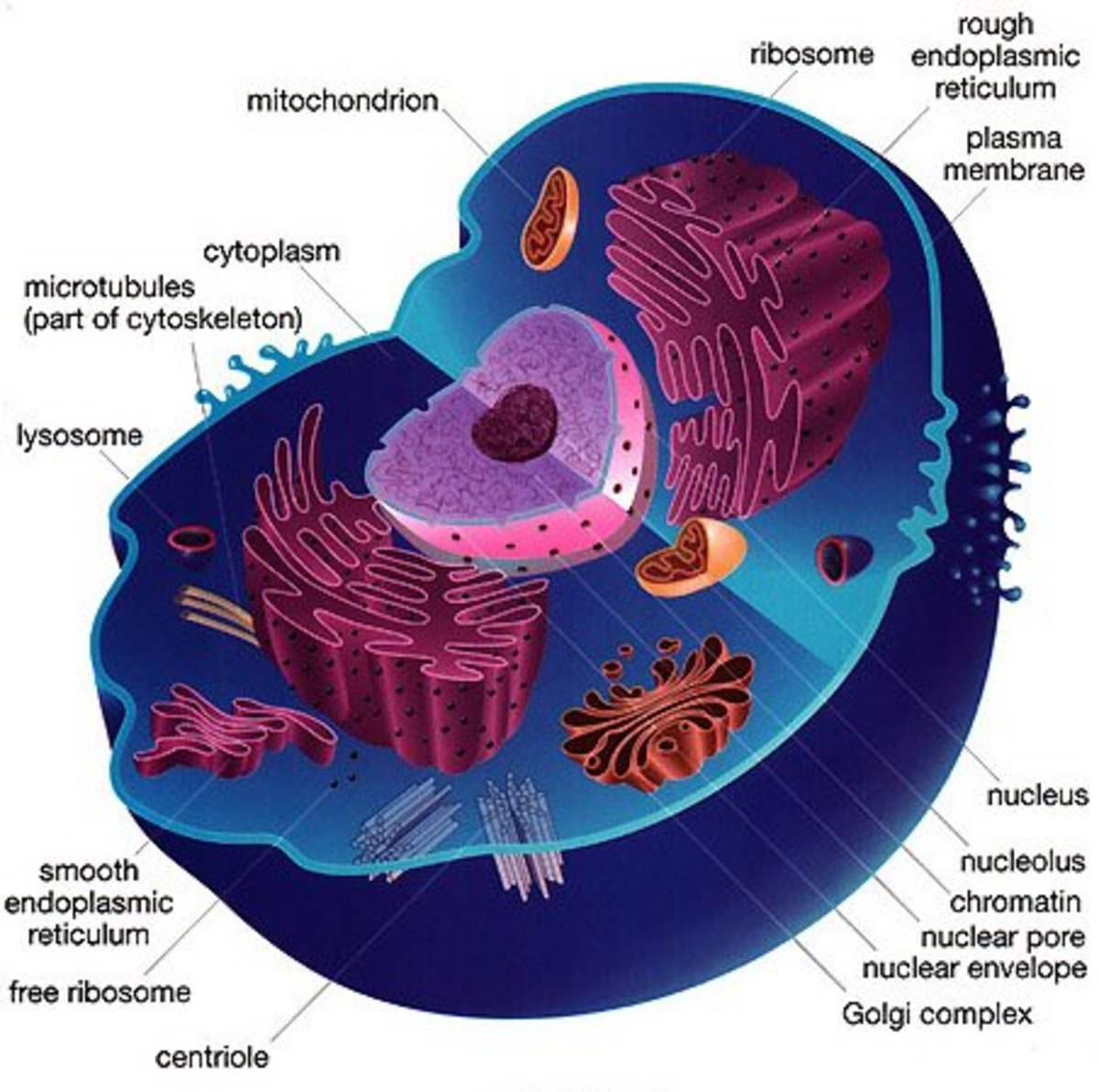 Plant and Animal Cells ***REVISED***