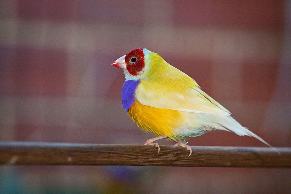 Adult male, double factor yellow back Gouldian Finch