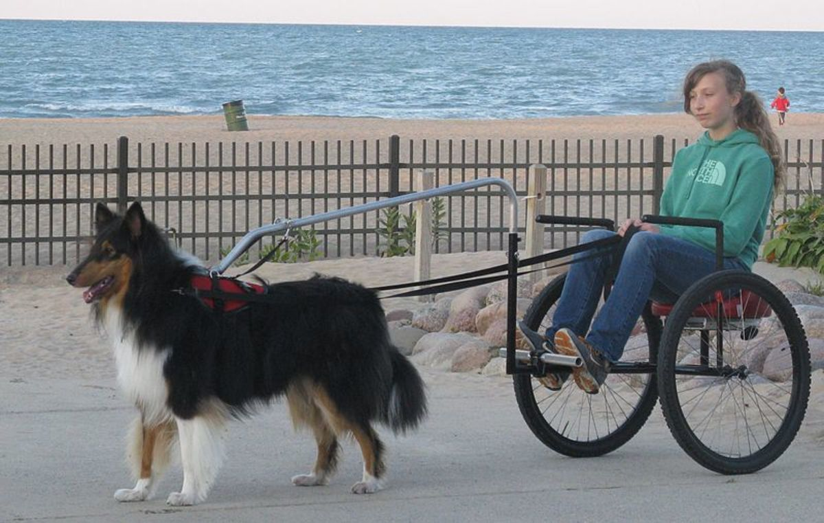 Example of one kind of cart that works well for dog carting displacing weight away from the dog's spine.