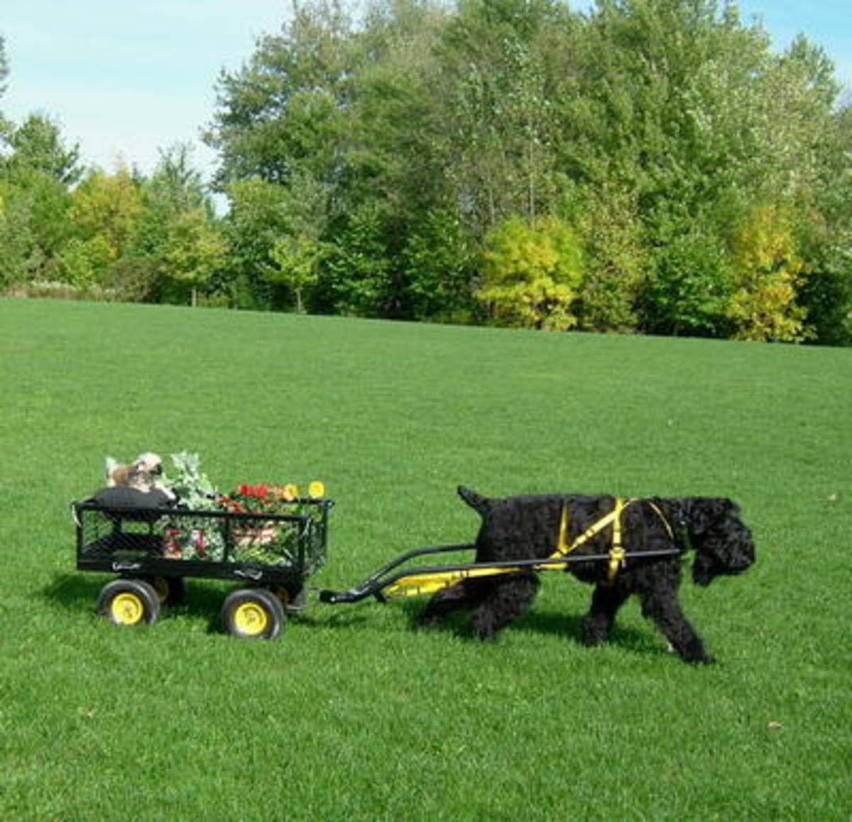 A different kind of dog carting but just as rewarding for the dog--any size dog.