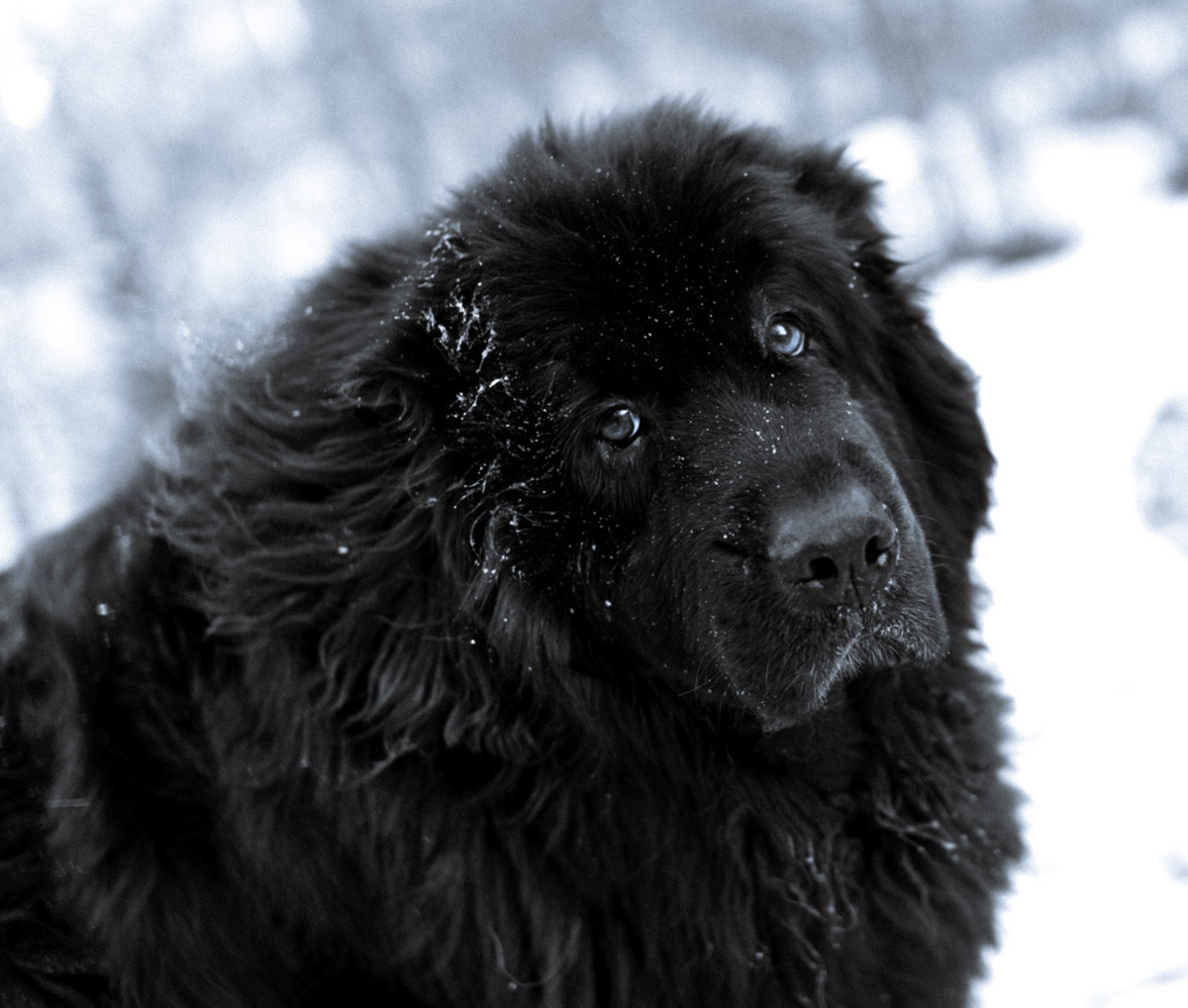 The Newfoundland is a gentle giant, sweet and mild in nature.