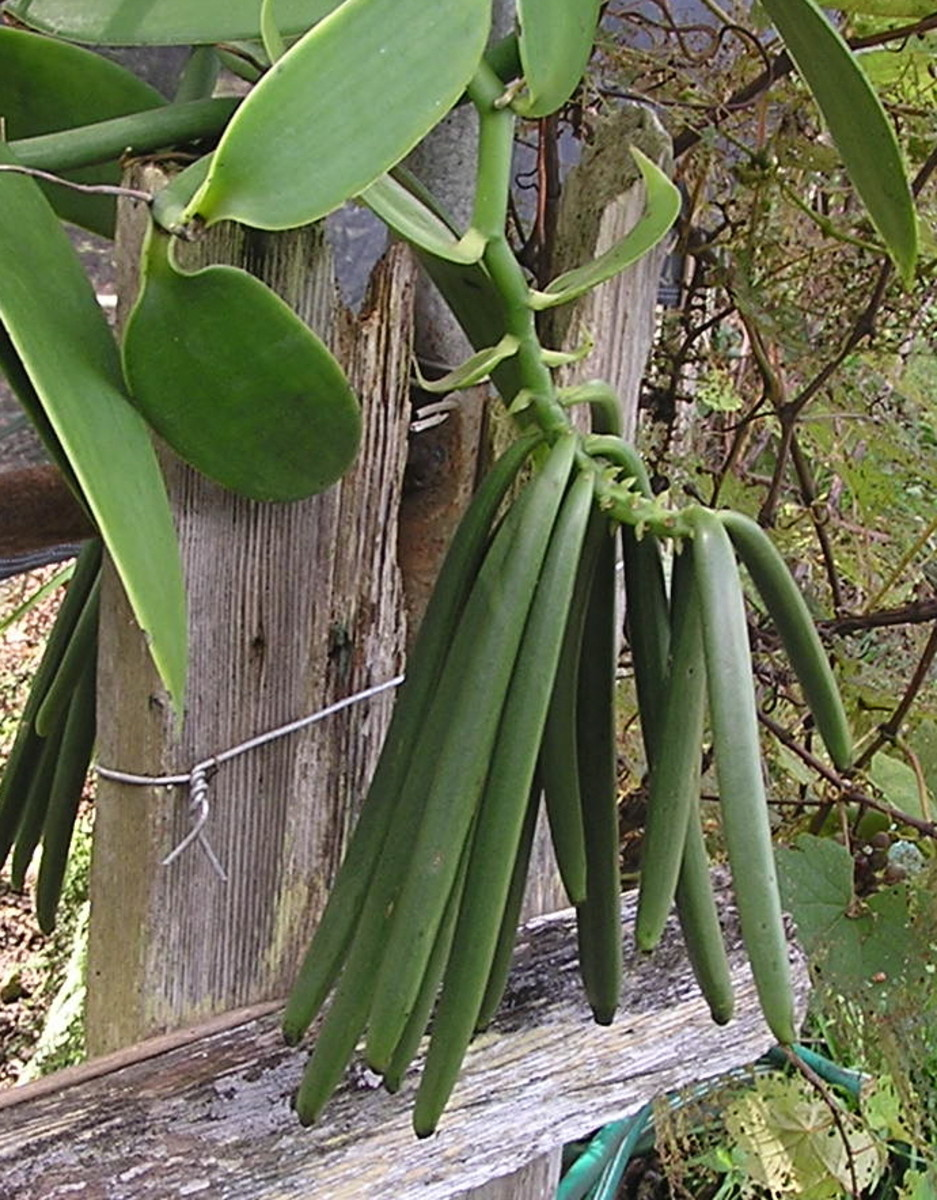 Vanilla pods Huahua farm Hawaii. They stay on the vine 9 months before picking and drying properly.