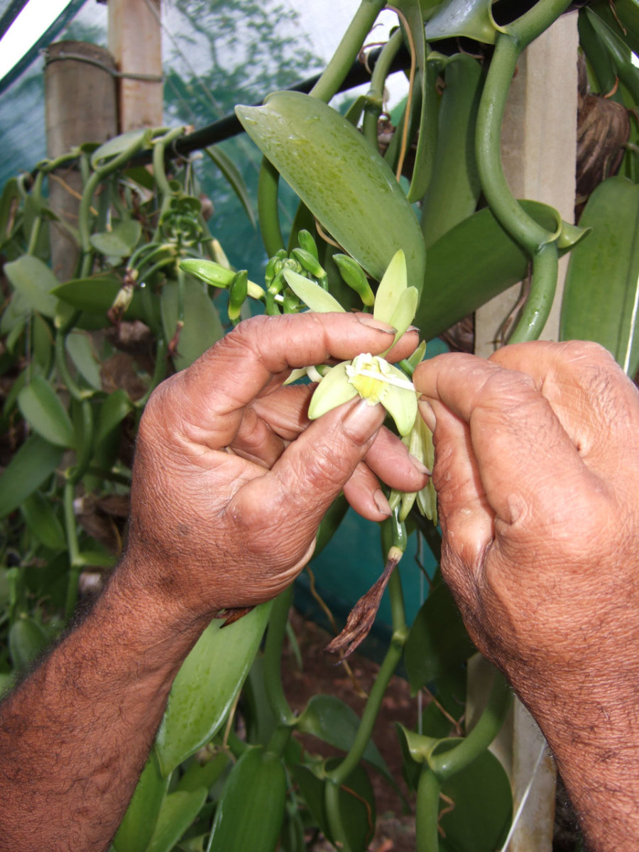 Hand pollination of each flower