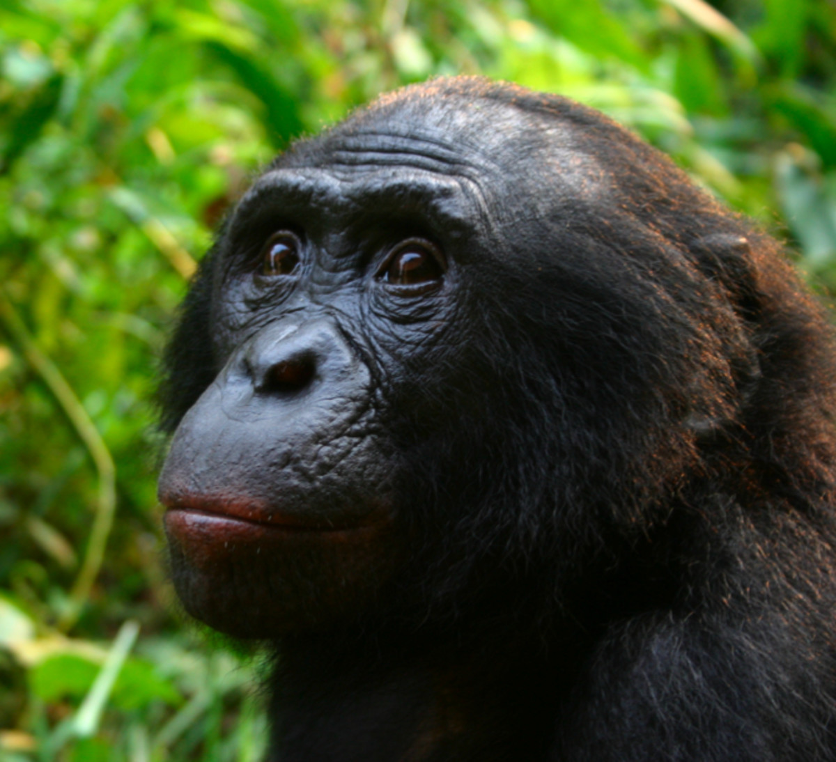 Some Bonobo's have been taught sign language that equals or betters Genie's ability.