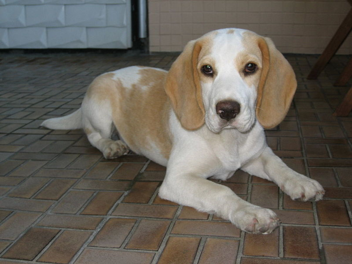 Top 10 Small Dogs That Don T Shed Hubpages