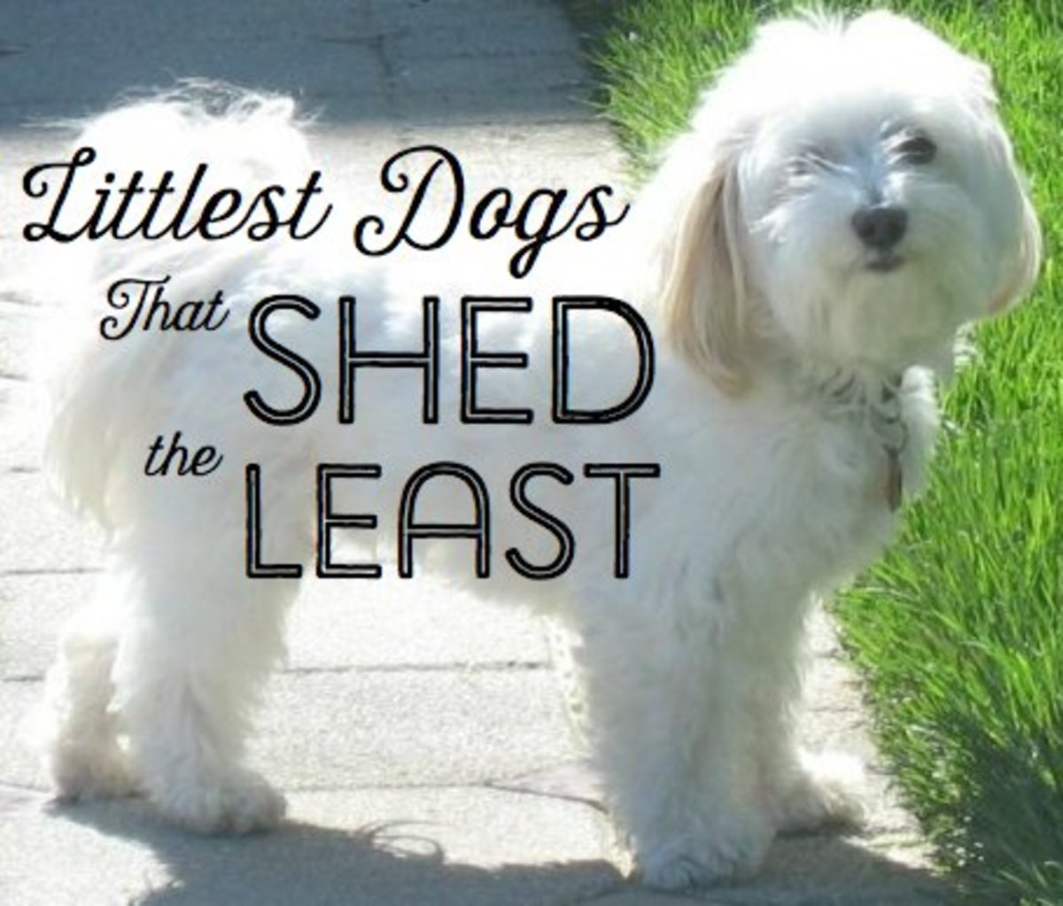 Top 10 Small Dogs that Don't Shed