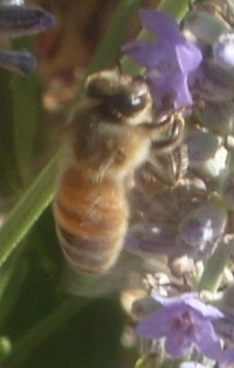 Bee siphoning the nectar from a lavender plant.