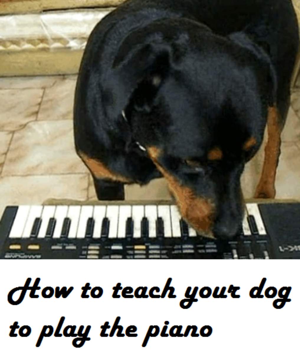 Teach dog to play the piano