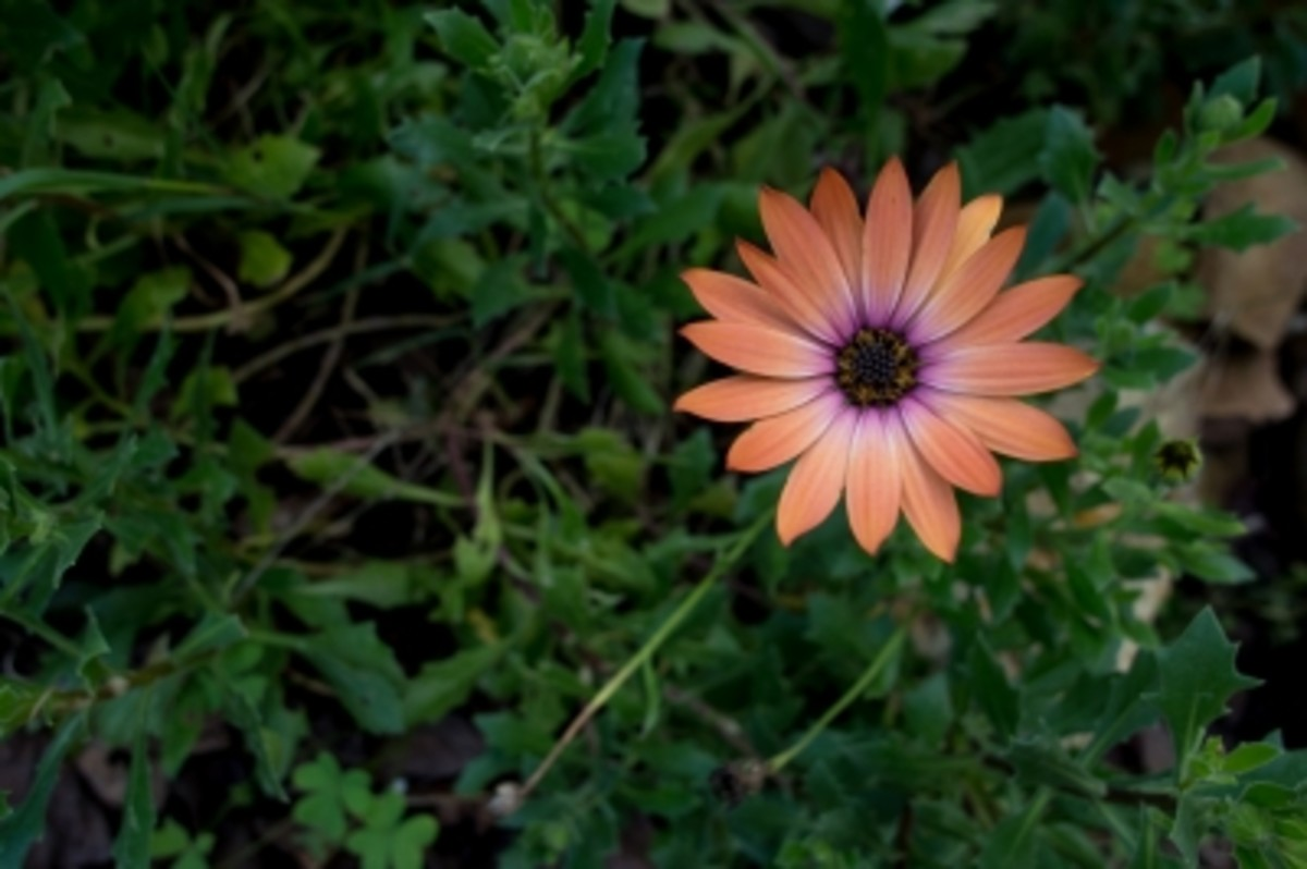 Another home remedy for tooth pain relieve is organic dry calendula flower