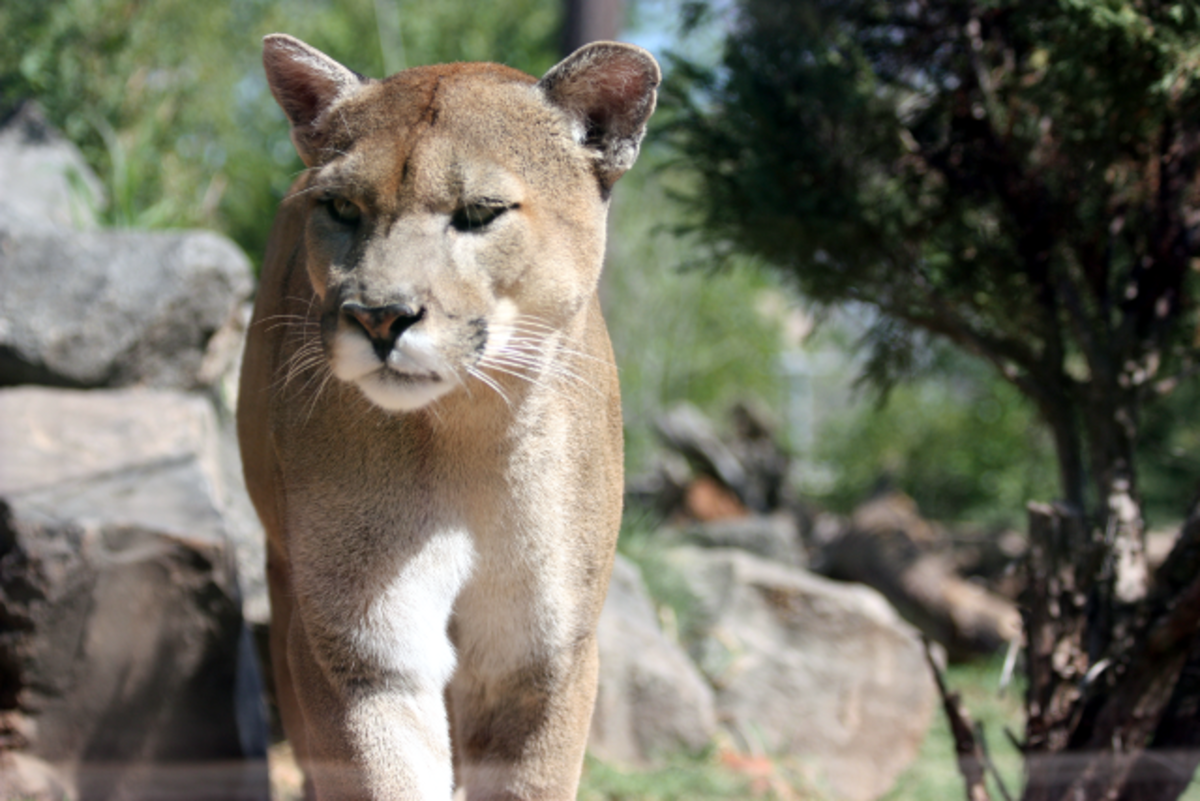 The Florida panther is critically endangered.