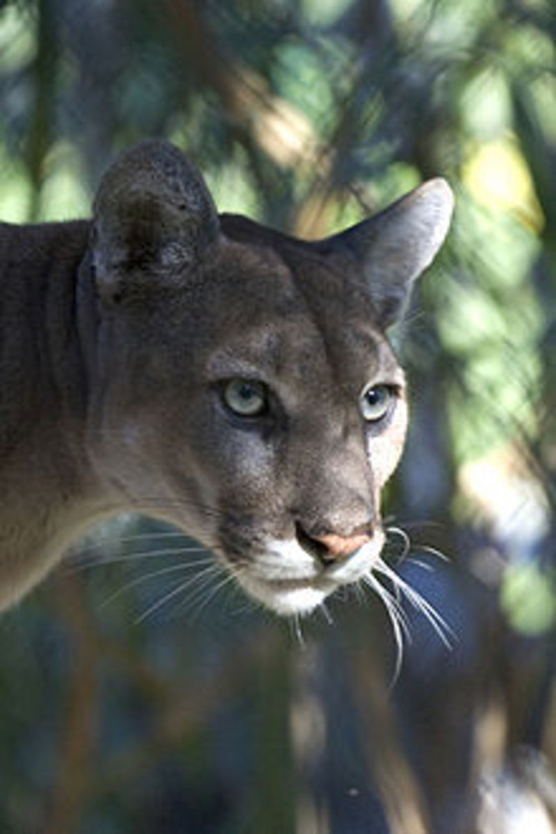 Florida panther resting in the shade.