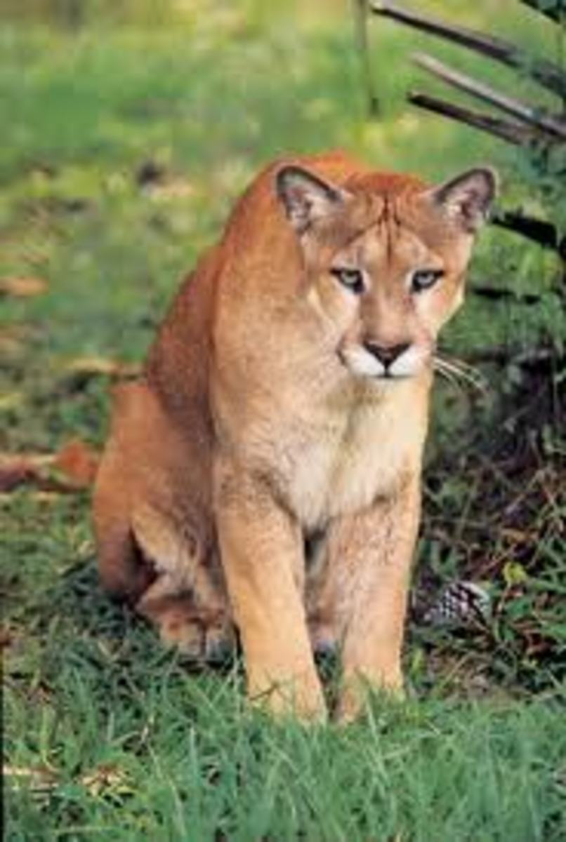 Florida panthers are smaller than the typical mountain lion or puma.
