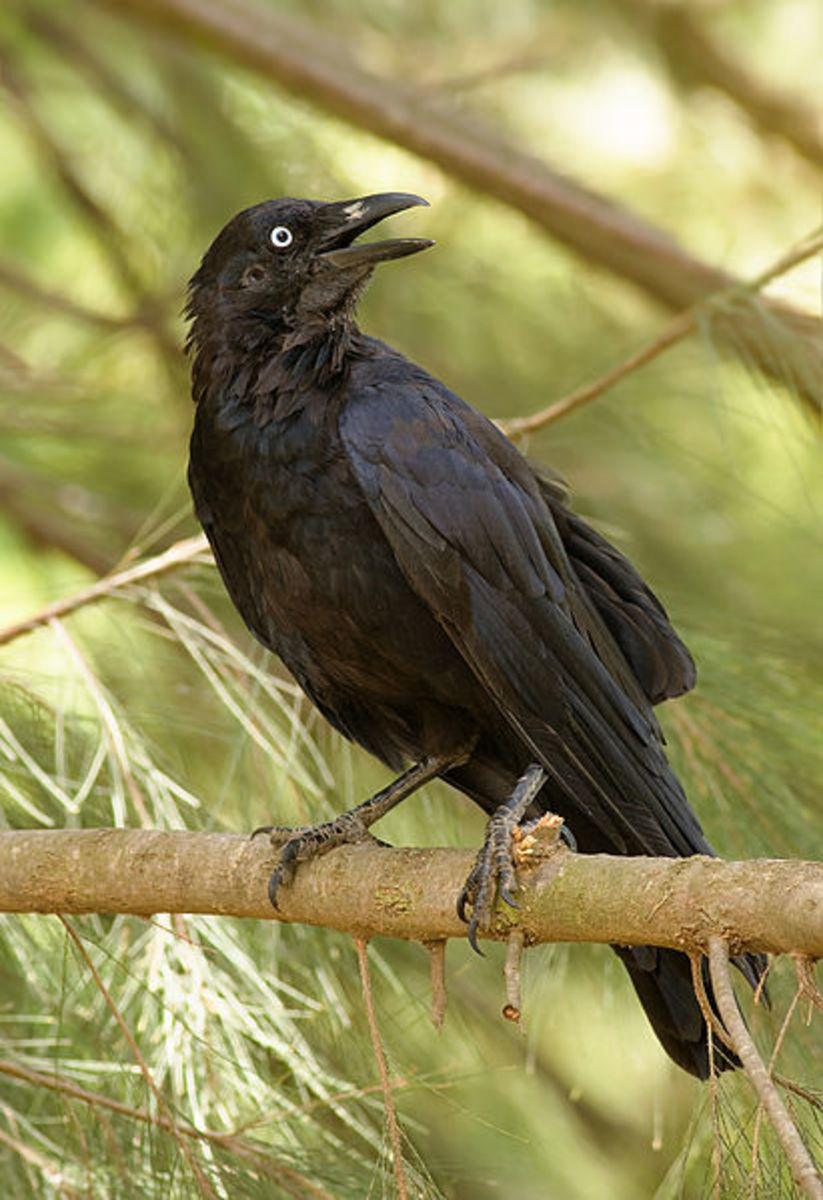 animal-magic-the-power-of-the-raven-and-crow
