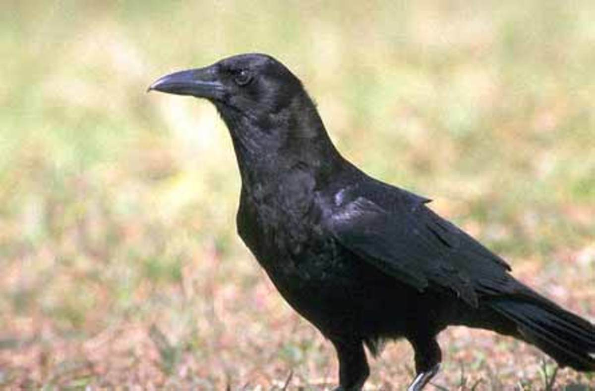 Animal Magic: The Power of the Raven and Crow