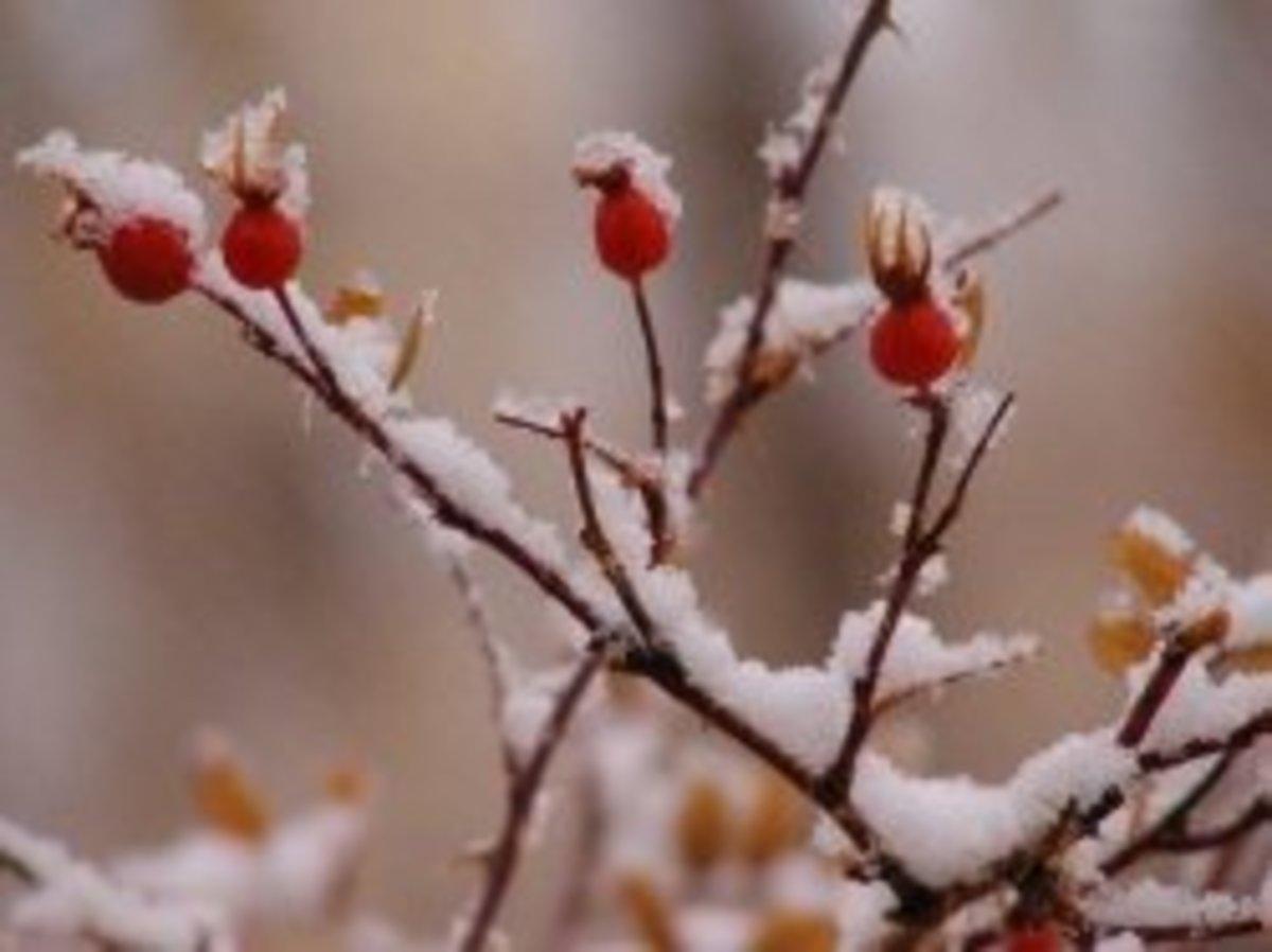 Roses in Winter