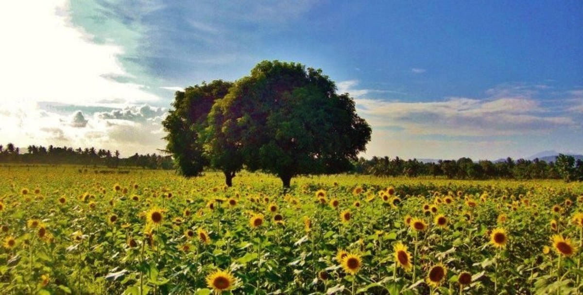 Sunflower Farm, Ligao City, Philippines
