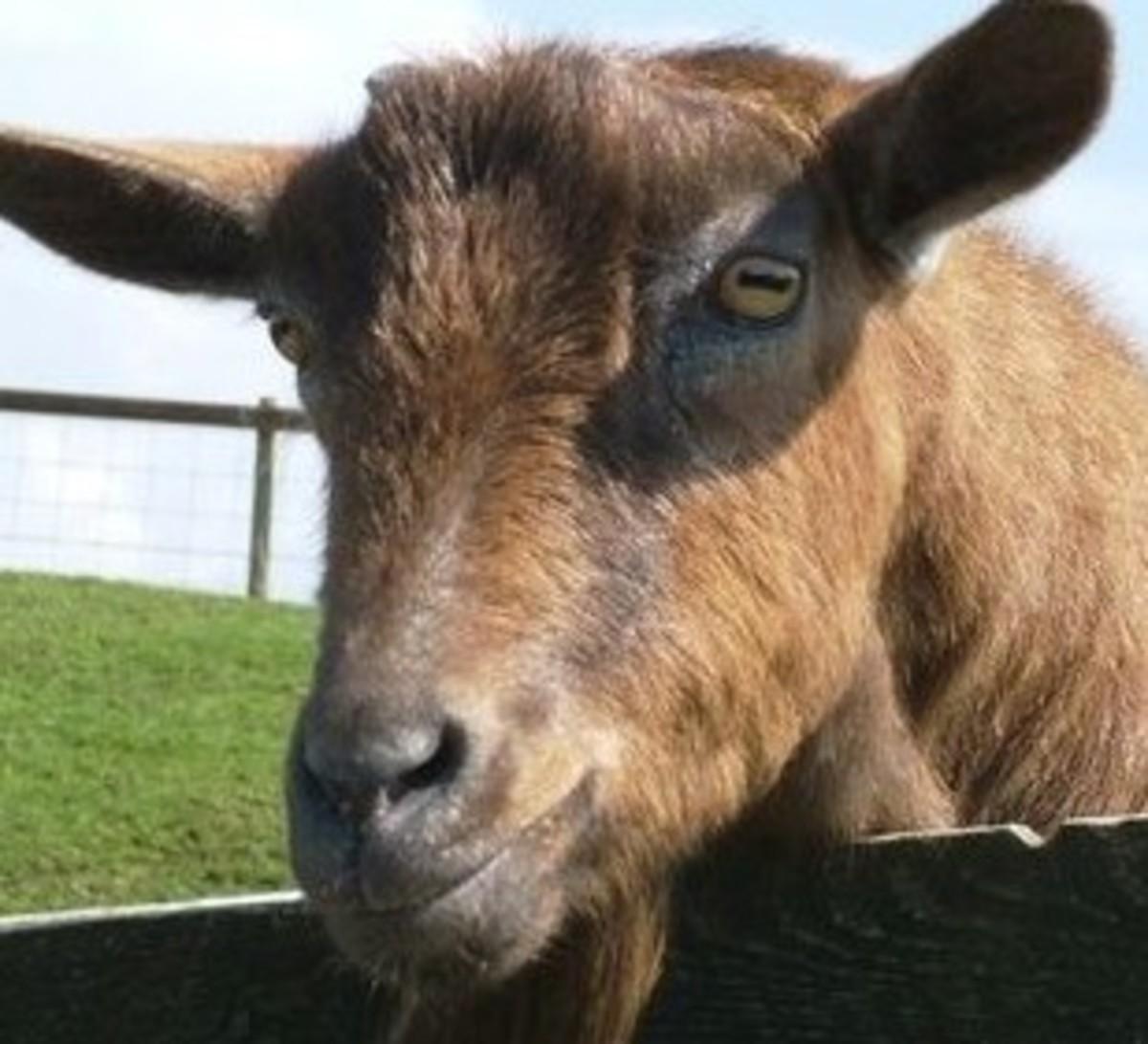 turning-goat-milk-into-spider-silk