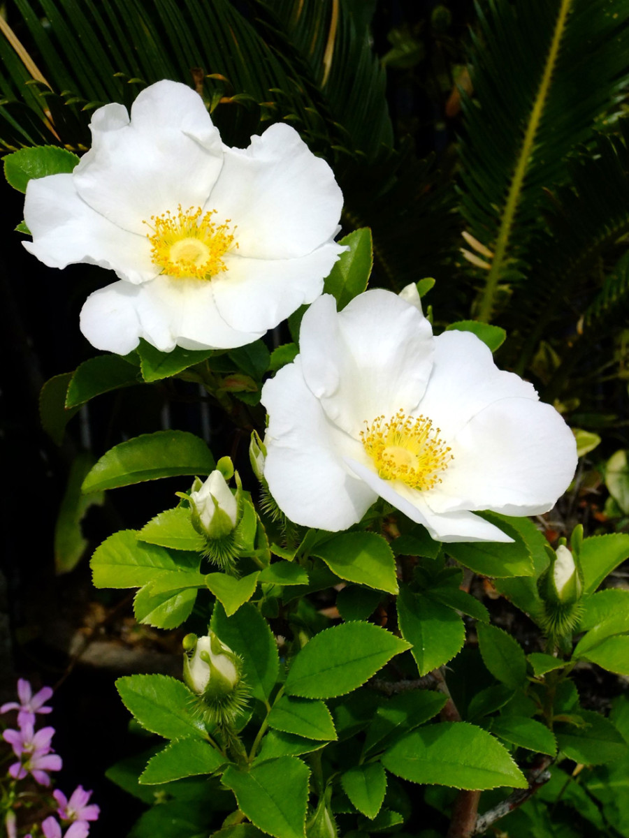 It has been said that as a Cherokee Mother's tear would fall a flower would bloom.  Thus it was named the Cherokee Rose