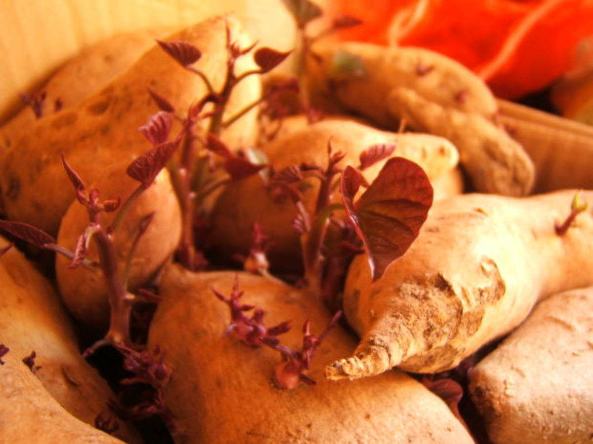 Sweet potatoes are packed with Vitamin B17 and essential nutrients.