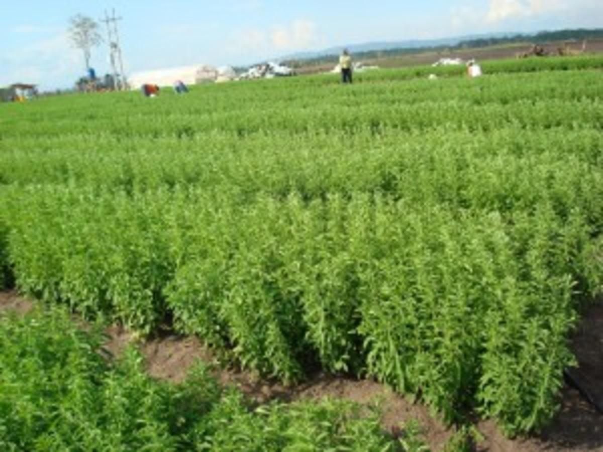 A stevia plantation in Peru.