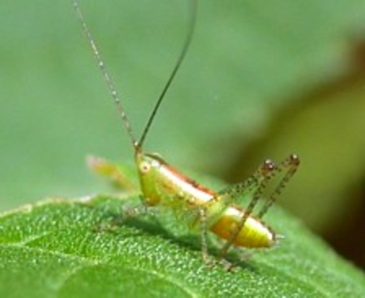 A nymph of a long horned grasshopper