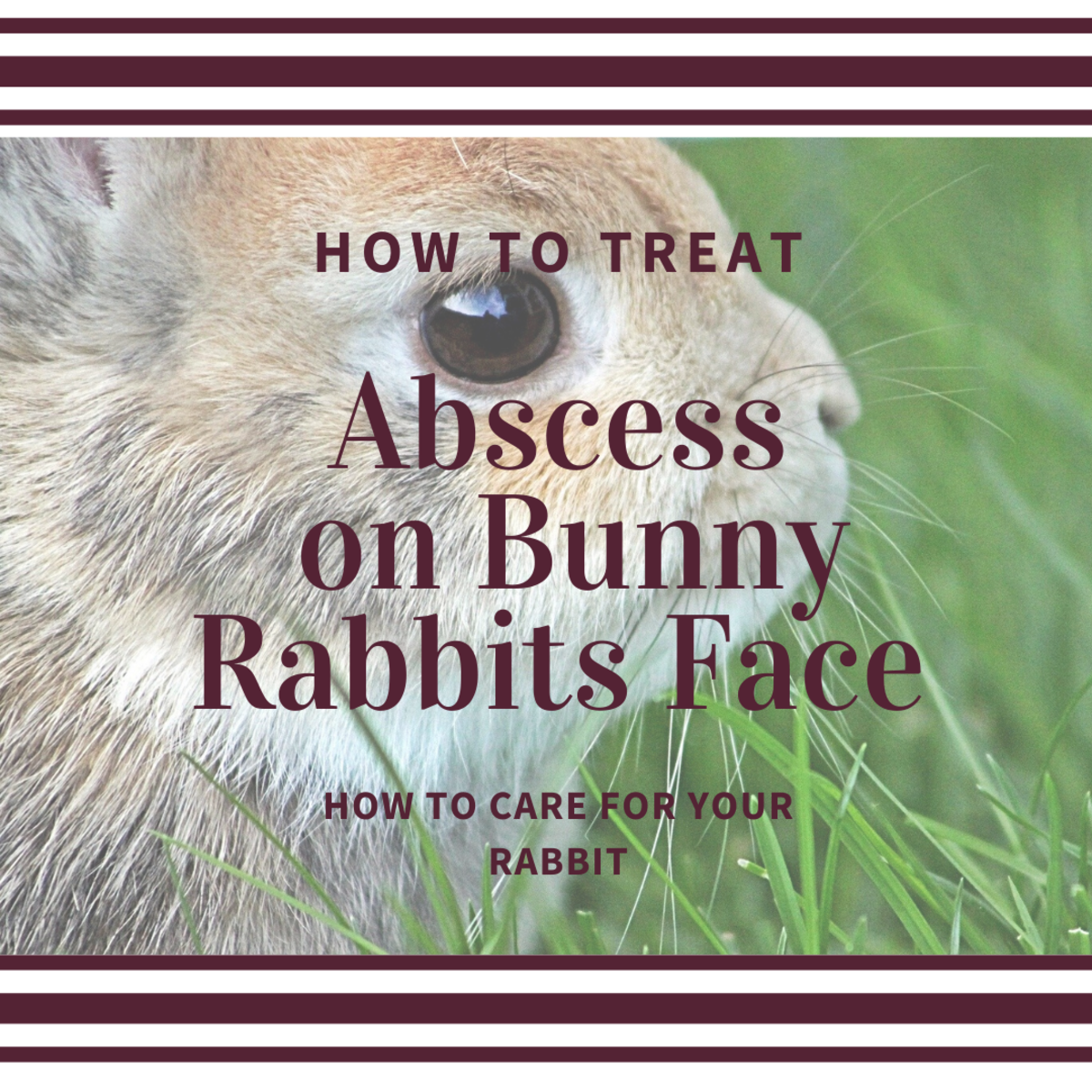 Treating an abscess on bunny rabbits face