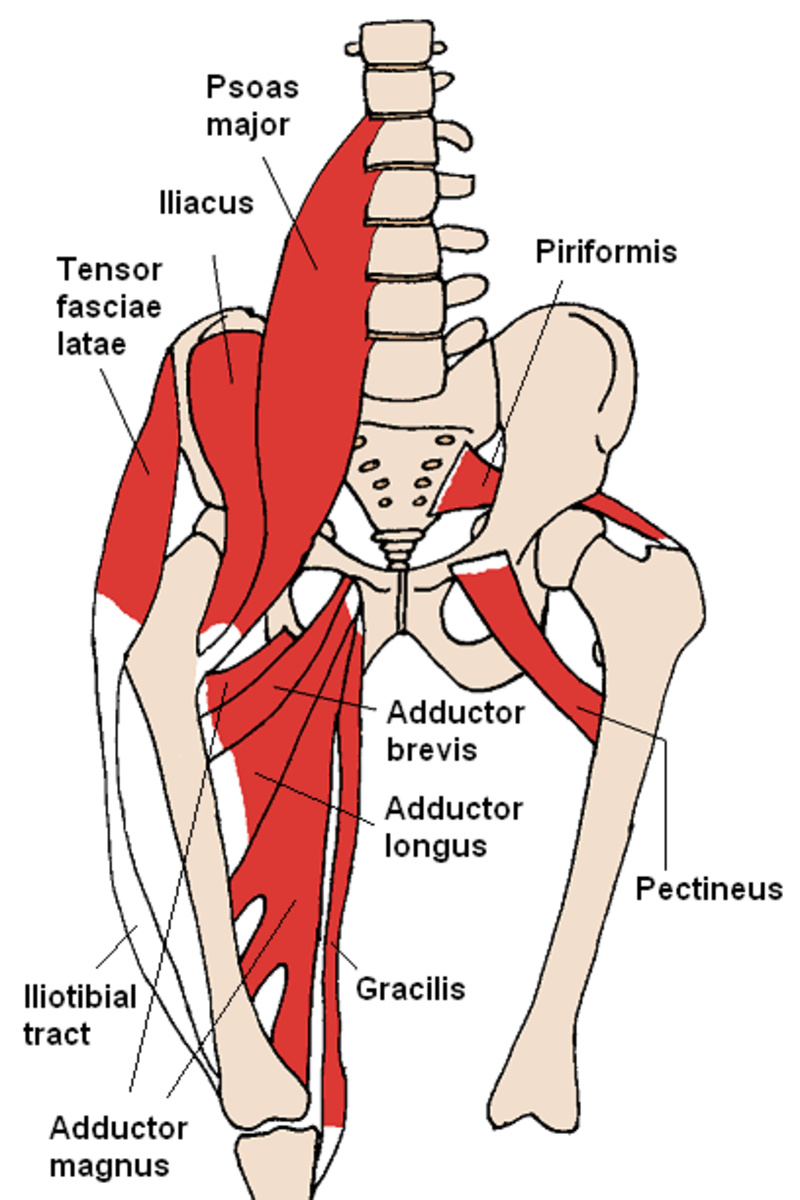 Anatomical hip diagram