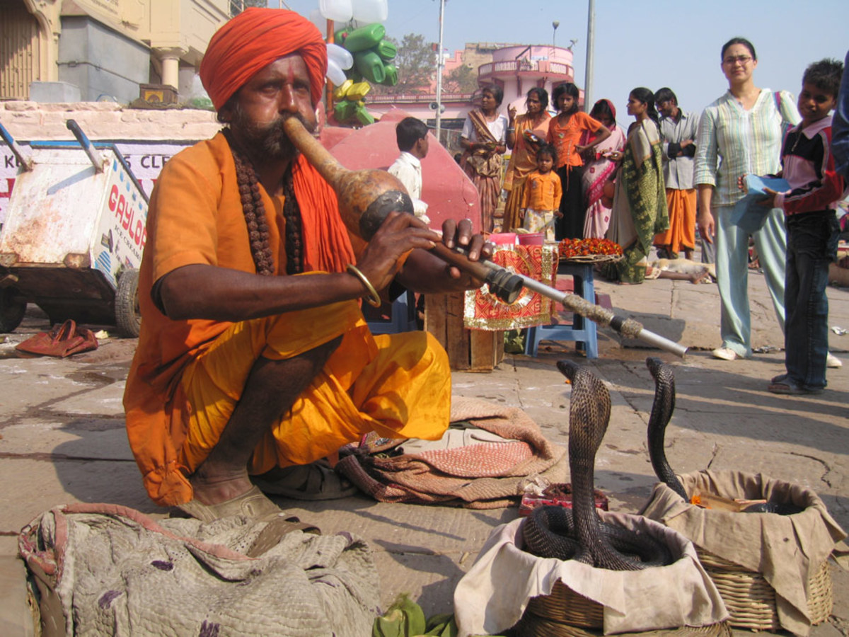 The Indian Cobra is the most common snake that is charmed by Snake Charmers.
