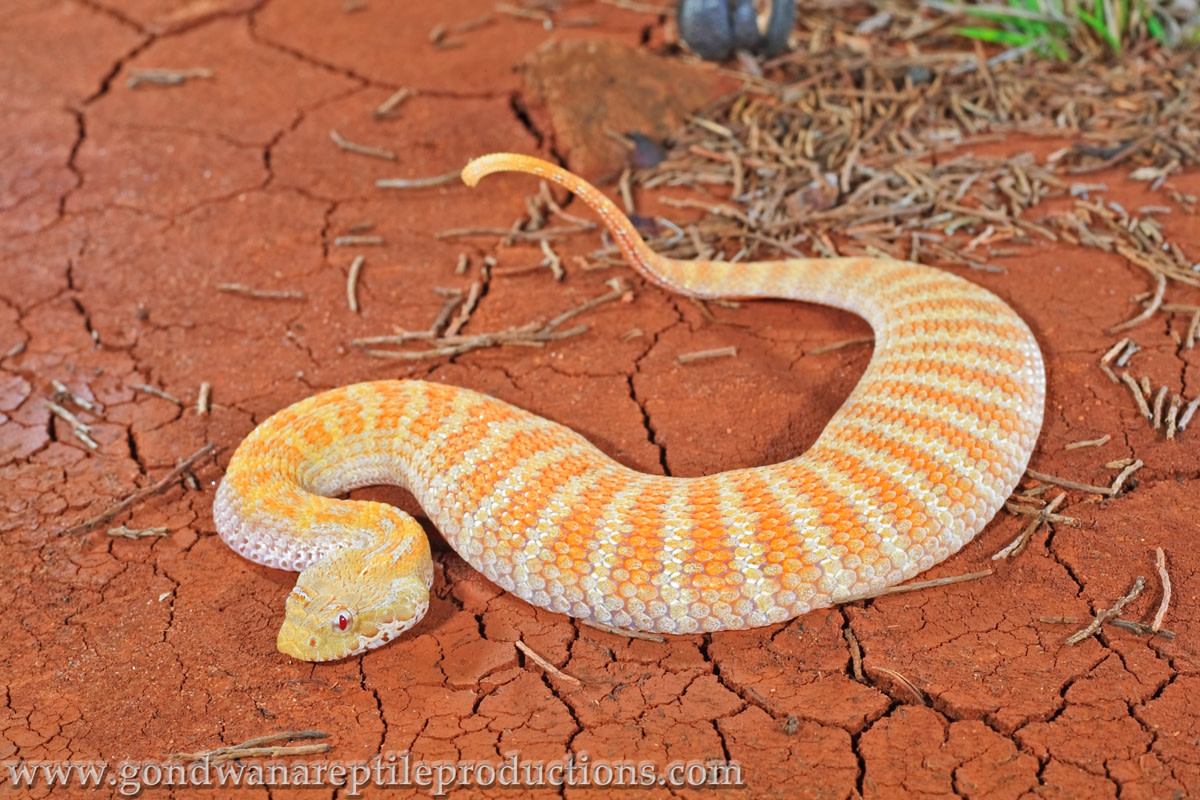 This lightly colored Death Adder raises its tail to mimic a caterpillar.