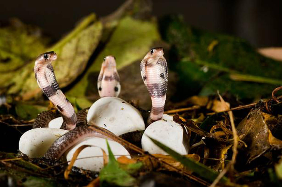 Baby King Cobras hatching from their eggs.