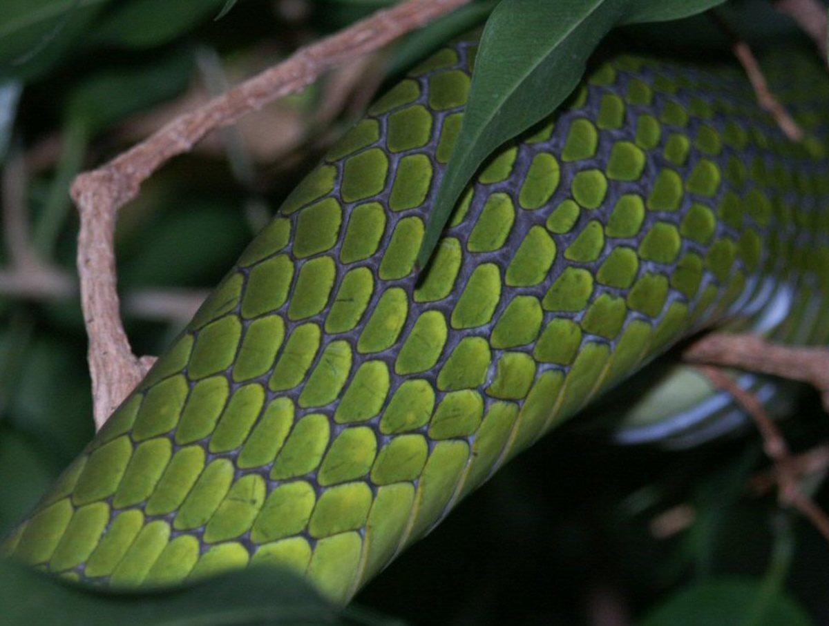 A close up image of a Green Mamba's dorsal scales.