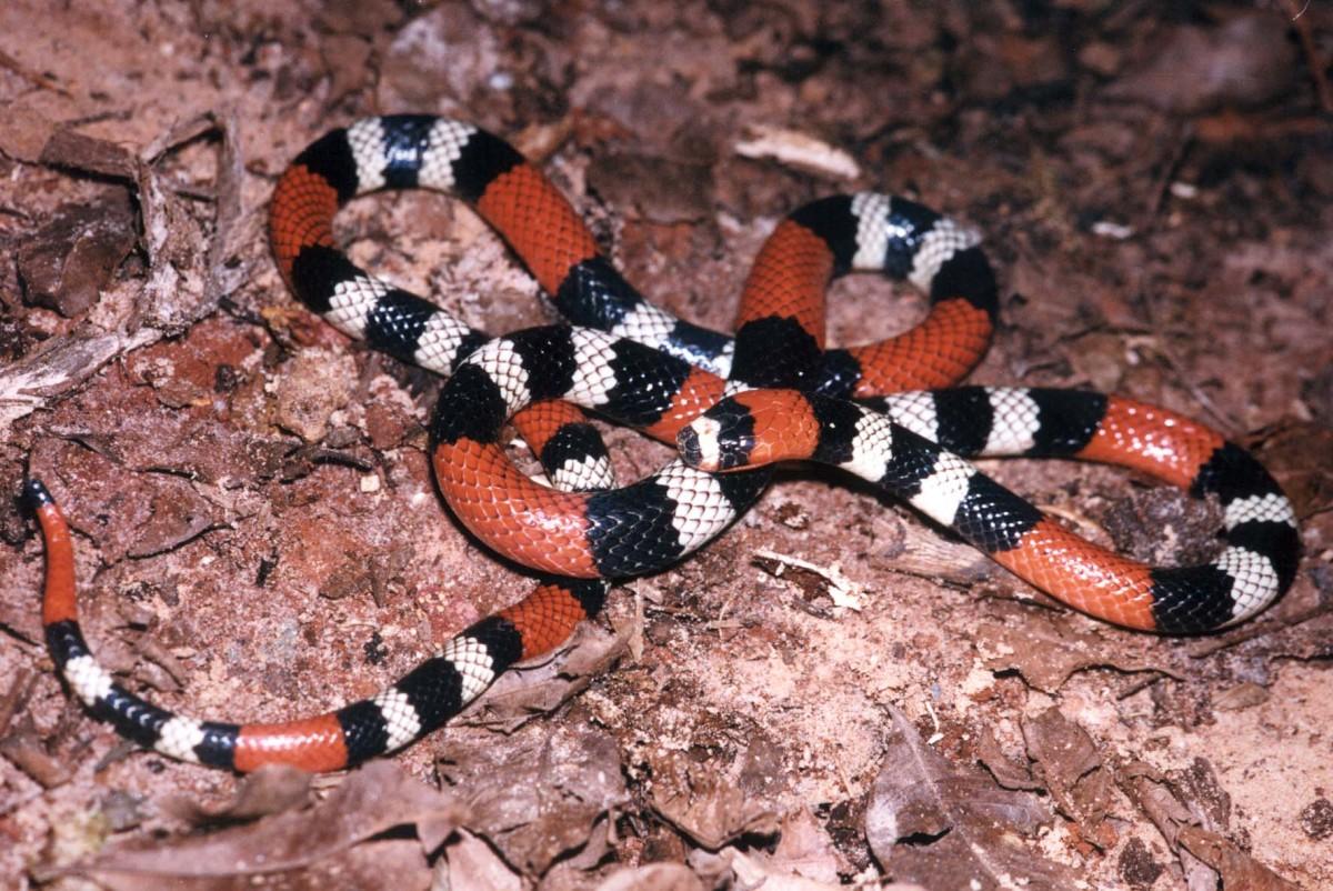 15-species-of-elapids