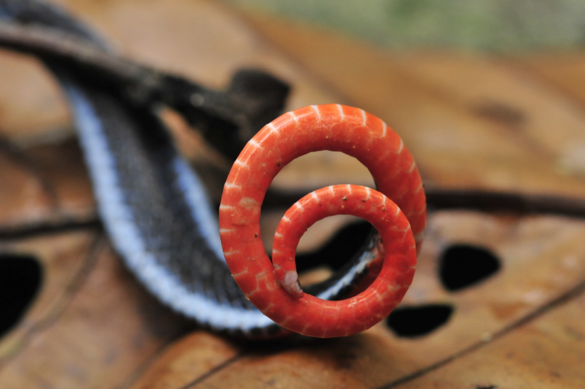 The bright orange/red underbelly of the snake is used to warn against predators.