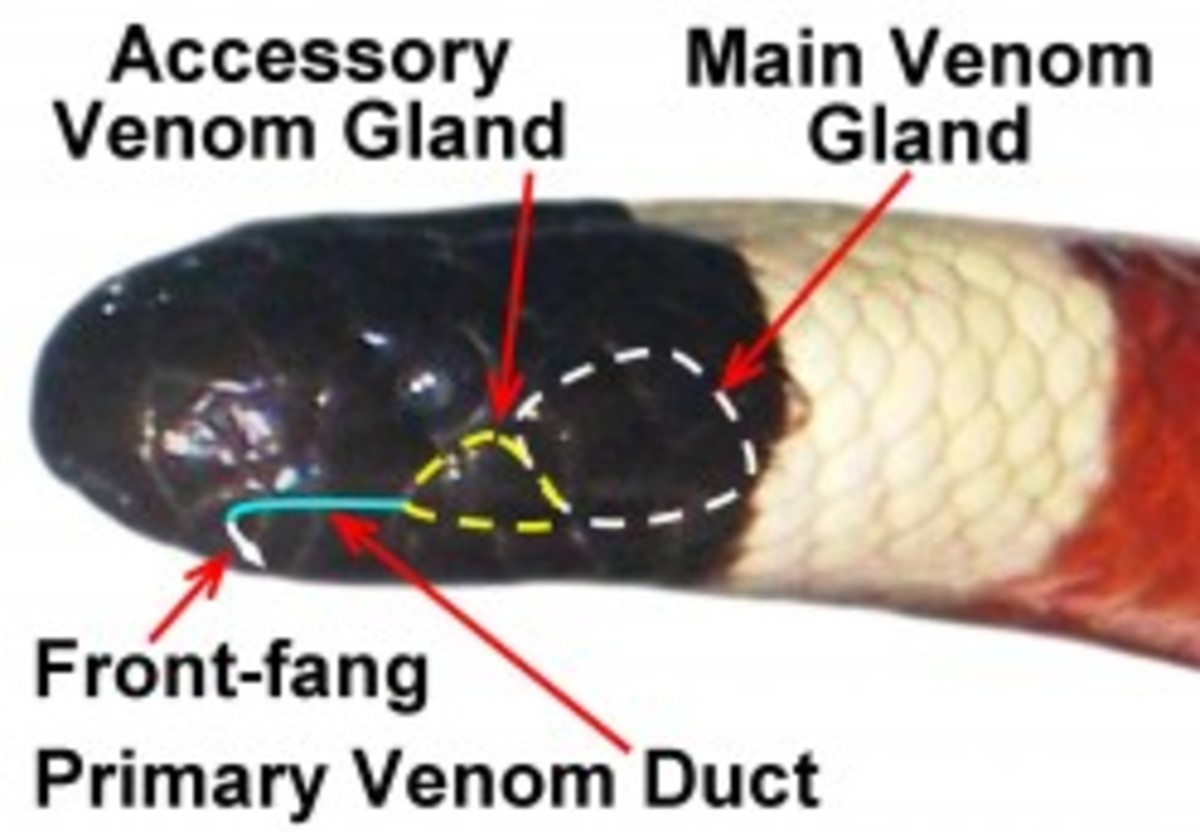 This picture was taken from another great hub. It shows a close up of the Arizona Coral Snake with labels.
