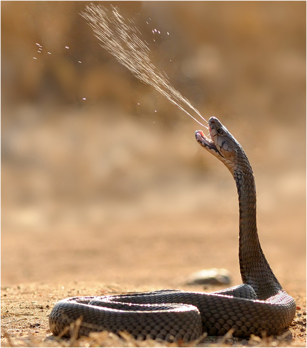 The hollow fangs allow some snakes, like spitting cobras, to spray their venom several feet.