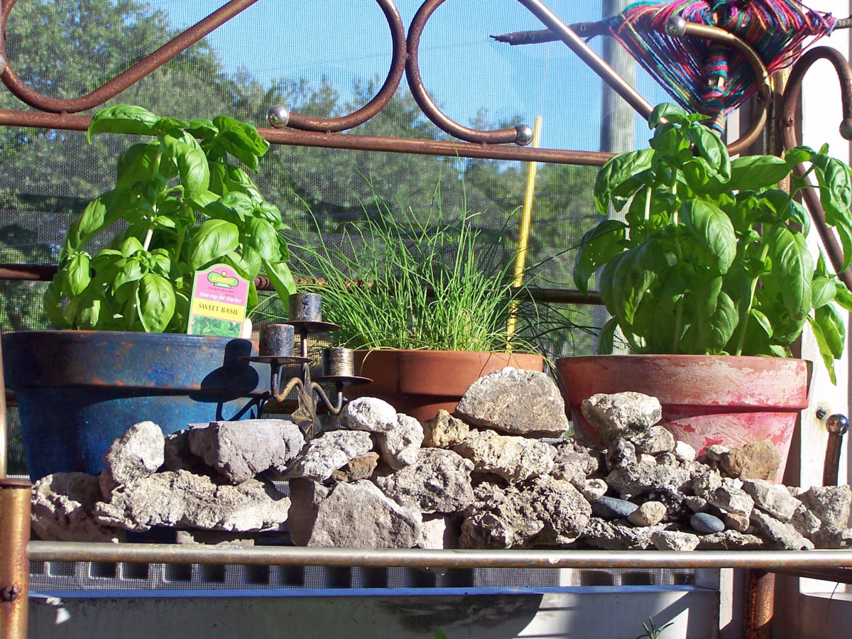 Plant basil in succession for a larger, more continuous harvest.