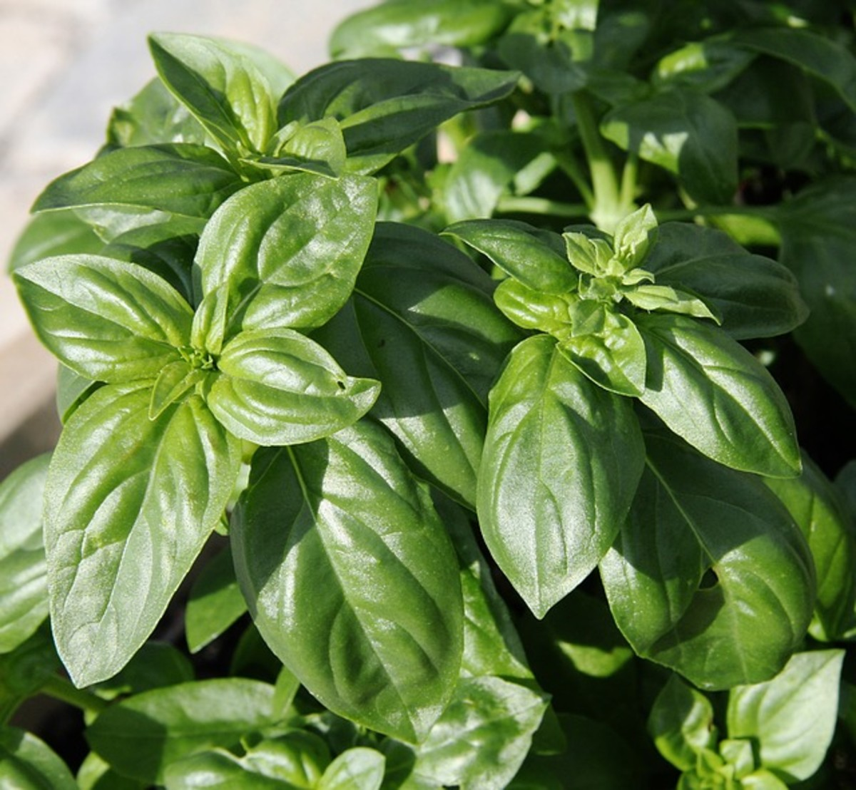 The scent of basil-- just close your eyes and open your mind and imagine you can smell the goodness.
