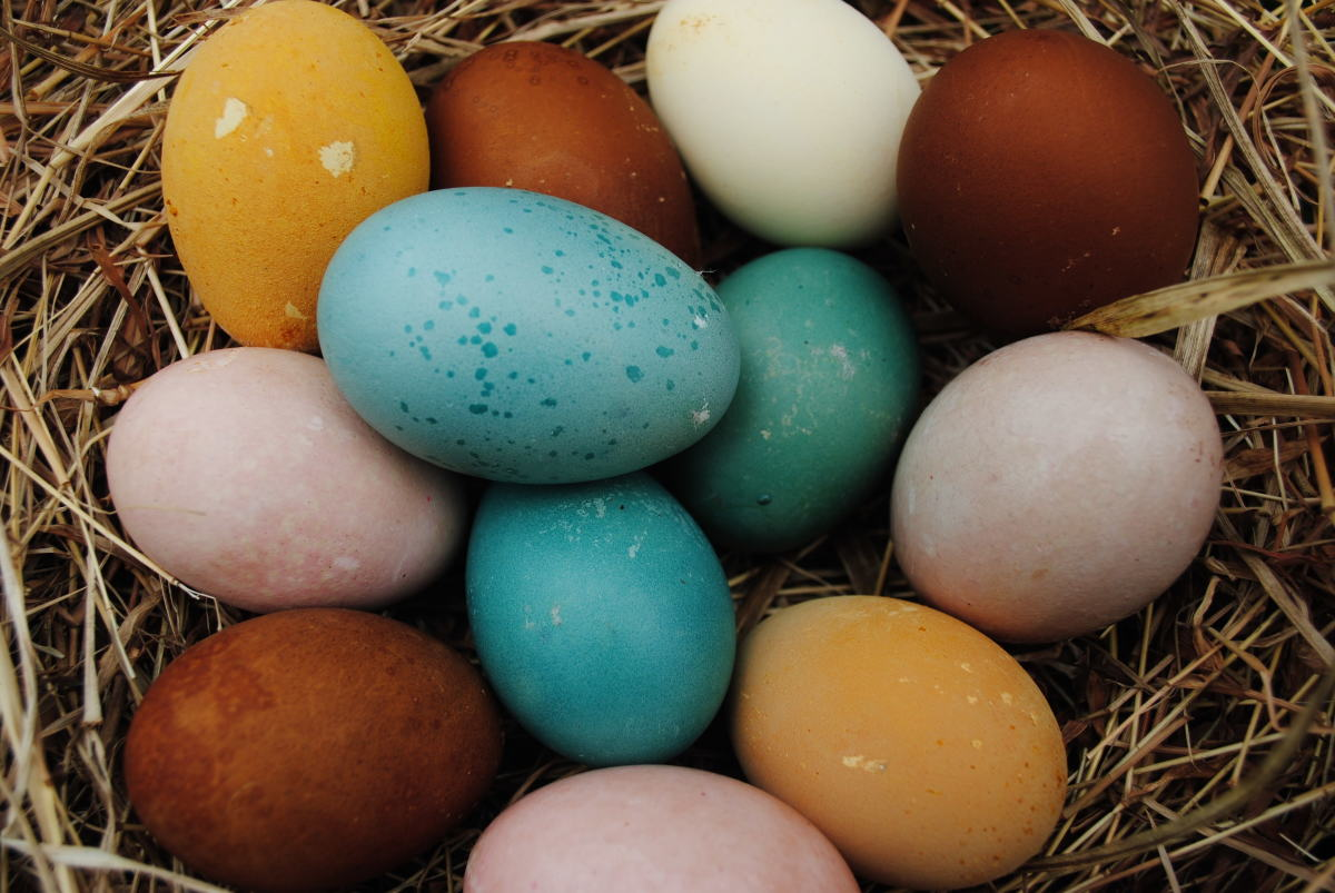 Different colored chicken eggs