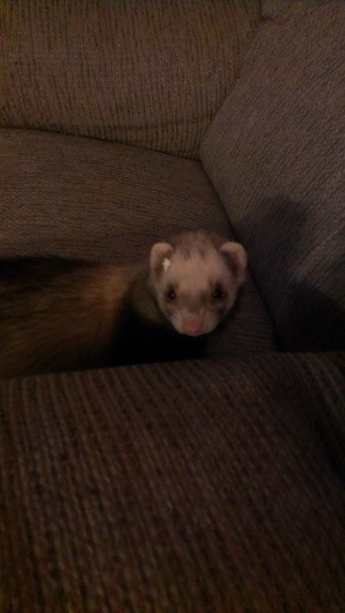 This picture is from when my ferret was tunneling through some Styrofoam just for fun, and as you can tell she still has a little stuck to her cute little face.