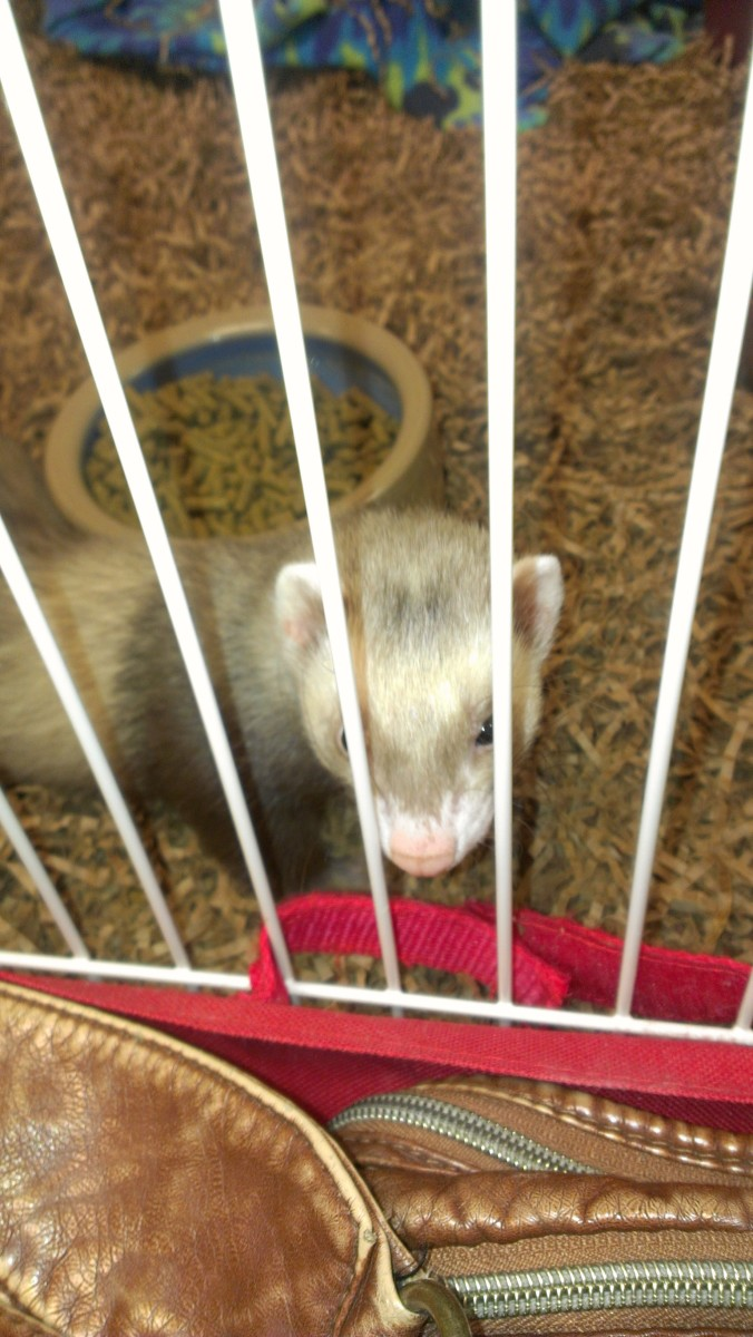 teach-your-ferret-to-steal-for-you