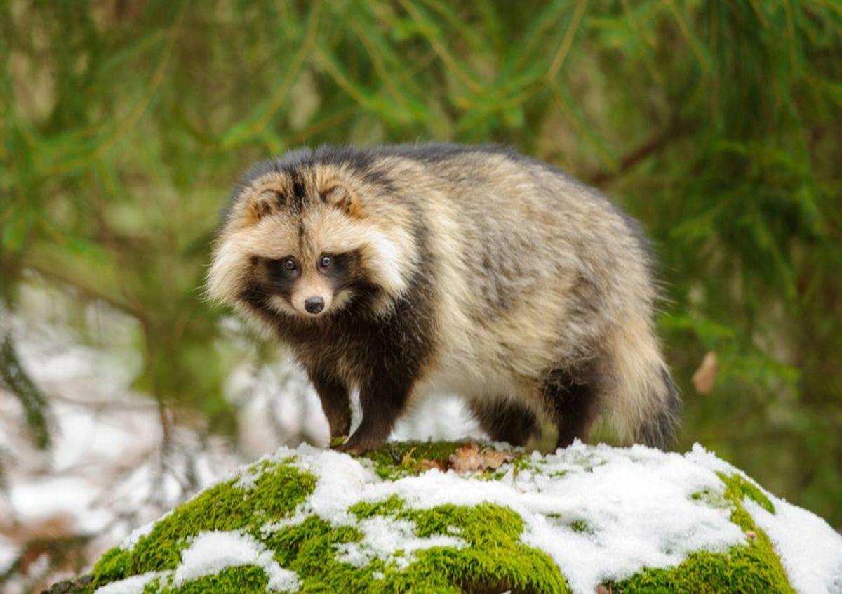 Tanuki or Raccoon Dogs